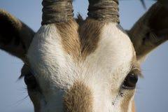 Alto vicino del Oryx Immagini Stock Libere da Diritti