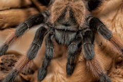 Alto vicino del ragno Fotografie Stock Libere da Diritti