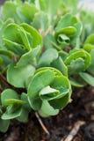 Alto vicino del succulente fotografia stock