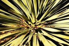Alto vicino del Yucca Immagine Stock Libera da Diritti