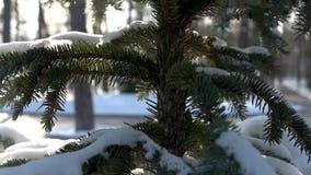 Alto vicino dell'abete rosso, inverno stock footage