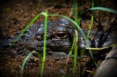 Alto vicino dell'alligatore Fotografia Stock Libera da Diritti