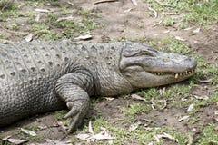 Alto vicino dell'alligatore Fotografia Stock