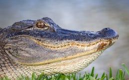 Alto vicino dell'alligatore Immagini Stock Libere da Diritti