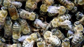 Alto vicino dell'ape regina stock footage