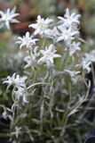 Alto vicino dell'edelweiss Immagine Stock