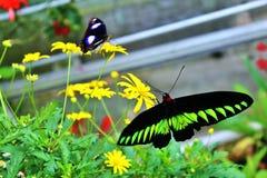 Alto vicino della farfalla Immagine Stock Libera da Diritti