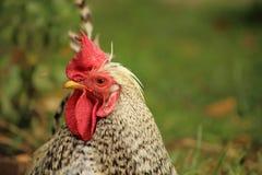 Alto vicino della gallina Immagini Stock Libere da Diritti
