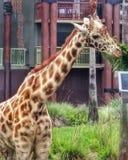 Alto vicino della giraffa Fotografia Stock