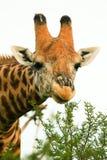Alto vicino della giraffa Immagini Stock