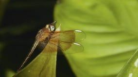 Alto vicino della libellula video d archivio