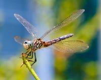 Alto vicino della libellula Immagini Stock