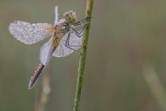 Alto vicino della libellula Immagine Stock