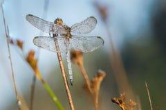 Alto vicino della libellula Fotografie Stock
