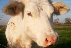 Alto vicino della mucca Fotografie Stock Libere da Diritti