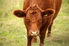 Alto vicino della mucca fissare Immagini Stock