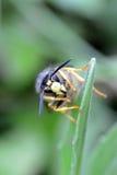 Alto vicino della vespa Immagine Stock Libera da Diritti