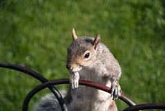 Alto vicino dello scoiattolo Immagini Stock Libere da Diritti