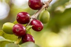 Alto vicino di frutti del caffè - vicino su delle ciliege del caffè Fotografia Stock