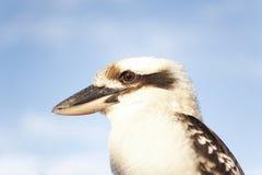 Alto vicino di kookaburra Fotografia Stock