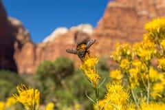 Alto vicino giallo dell'ape e del fiore Immagini Stock