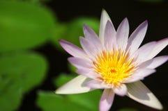 Alto vicino waterlily del fiore giallo e porpora Fotografia Stock