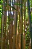 Alto y fuerte este árbol de bambú es imagen de archivo libre de regalías