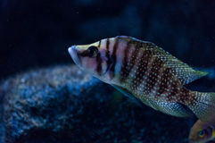 Altolamprologus calvus Stock Images