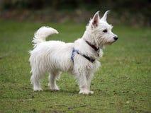 Altopiani ad ovest Terrier Fotografie Stock