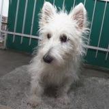 Altopiani ad ovest Terrier Fotografia Stock Libera da Diritti