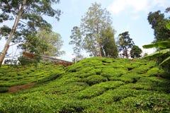 Altopiani di Cameron della piantagione di tè, Malesia fotografie stock libere da diritti