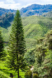 Altopiani di Cameron, Malesia Fotografie Stock