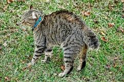 Altopiano Lynx Cat Ready da combattere fotografia stock