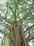 Altos árboles imagenes de archivo
