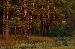 Altos árboles coníferos, en el césped bajo sol suave imágenes de archivo libres de regalías