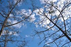 Altos árboles con el cielo azul y la nube Imagenes de archivo