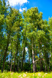 Altos árboles de abedul con follaje verde Fotos de archivo libres de regalías