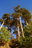 Altos árboles de pino Foto de archivo