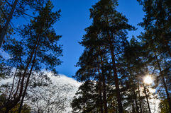 Altos árboles en un fondo del cielo azul y de las nubes blancas Foto de archivo