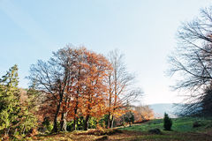 Altos árboles y árboles de pino en bosque del otoño en luz del sol Fotografía de archivo