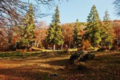 Altos árboles y árboles de pino en bosque del otoño en luz del sol Imagenes de archivo