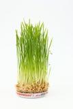 Altos brotes verdes del trigo en una placa Fotos de archivo libres de regalías
