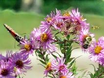 Altos monarca y abeja del parque de Toronto en los asteres salvajes 2017 Imagen de archivo libre de regalías