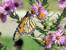 Altos monarca y abejas del parque de Toronto en el aster salvaje 2017 Fotos de archivo
