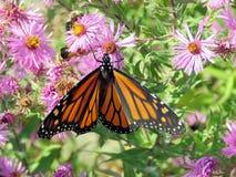 Altos monarca y abejas del parque de Toronto en un aster salvaje 2017 Imagen de archivo libre de regalías