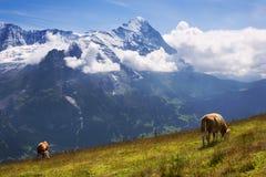 Altos pastos alpinos en Suiza Foto de archivo libre de regalías