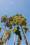 Altos troncos del pino, corona enorme y cielo azul suave Foto de archivo libre de regalías