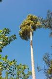 Altos troncos del pino, corona enorme y cielo azul suave Imágenes de archivo libres de regalías