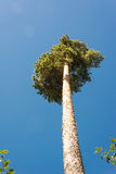 Altos troncos del pino, corona enorme y cielo azul suave Fotografía de archivo