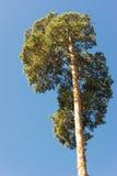 Altos troncos del pino, corona enorme y cielo azul suave Imagen de archivo libre de regalías